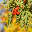 Stock Photo: Ripe autumn mountain ash