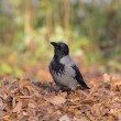 Crow on the autumn leaves — Stock Photo