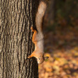 Squirrel on a tree trunk — Stock Photo #33934311