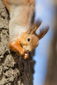 Portrait of a hungry squirrel — Stock Photo