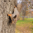 Curious squirrel — Stock Photo #34341289