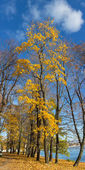Autumn maple trrees — Stock Photo