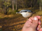 Hungry nuthatch — Stock Photo