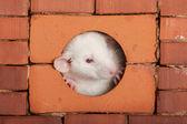 Wit baby rat — Stockfoto