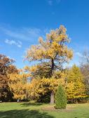 Autumn larch — Stock Photo