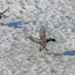 Ducks landing on the ice — Stock Photo