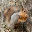Squirrel closeup — Stockfoto