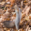 Squirrel — Stock Photo #35489353
