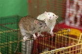 Two rats — Stock Photo