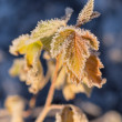 Frost on the leaves — Stock Photo