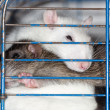 Stock Photo: Domestic rats