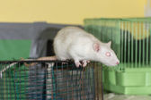 White domestic rat — Stock Photo