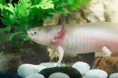Axolotl — Stock Photo