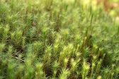 Moss closeup — Stock Photo