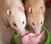 Domestic rats eating yogurt — Stock Photo