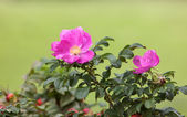 Dogrose in the summer — Stock Photo
