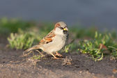 Portrait of sparrow — Foto Stock