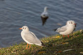 Seagulls near the shore — Stockfoto