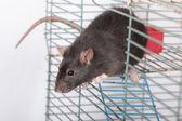 好奇的黑老鼠 — 图库照片