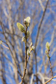 Flowering willow branches — Stock Photo