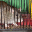 Rat in a cage — Stock Photo #44520043