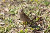 Sparrow on the ground — Stock Photo