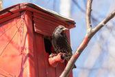 Spring starling — Stock Photo