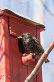 Starling on red birdhouse — Stock Photo
