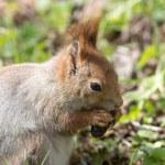 Squirrel closeup — Stock Photo #45724259