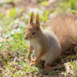 Squirrel close up — Stock Photo #45724261