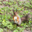 Squirrel on spring grass — Stock Photo #45724265