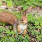 Curious squirrel — Stock Photo #45724289