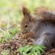 Squirrel close up — Stock Photo #45850779