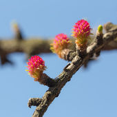 Larch tree branch in spring — Stock Photo