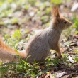 Portrait of a squirrel — Stock Photo #46600855
