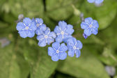 Blue flowers in spring — Stock Photo