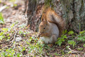 Squirrel under a tree — Foto de Stock