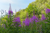 Willow-herb in summer — Stock Photo
