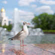 Stock Photo: Bird seagull in a city park. Russia, Moscow, Poklonnaya hill.