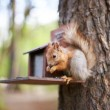 Squirrel in the forest on the feeder eating sunflower seeds — Stock Photo #26406565