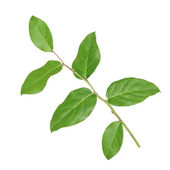 Branch with green leaves on a white background — Stock Photo