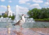 Bird seagull in a city park. Russia, Moscow, Poklonnaya hill. — Stock Photo