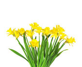 Bouquet of flowers of Daffodils on white background — Stock Photo