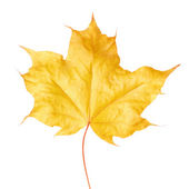 Yellow maple leaf on white background — Stock Photo