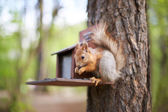 Squirrel in the forest on the feeder eating sunflower seeds — Stock Photo