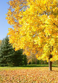 Autumn. Sunny Day in the Park. Maple tree with yellow leaves. — Stock Photo