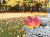 Autumn leaf on a branch of spruce — Stock Photo
