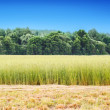 Field of hay and grass on a background of forest and sky — Stock Photo #49481815