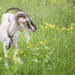 Goat grazed on a meadow — Foto de Stock   #49481959