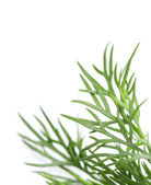 Dill on white background with a field for text — Stock Photo